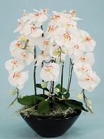 光触媒   胡蝶蘭5本立て ホワイト